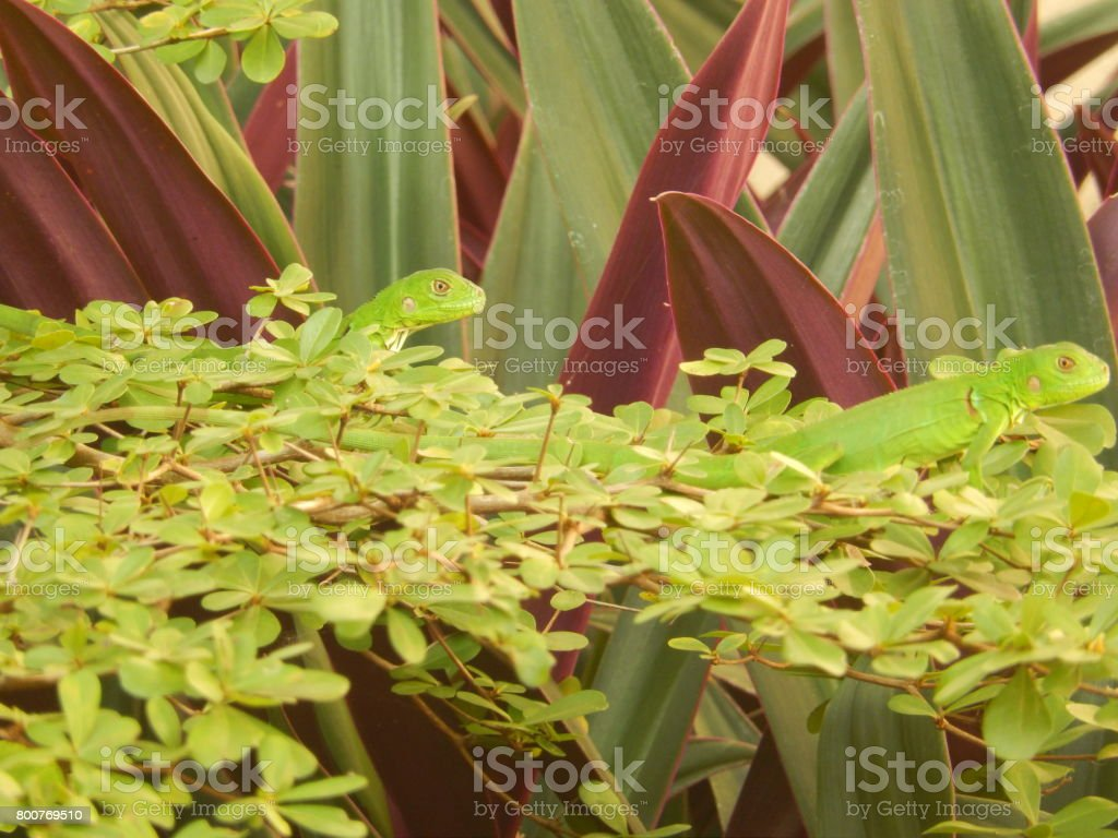 Exotic Iguana stock photo