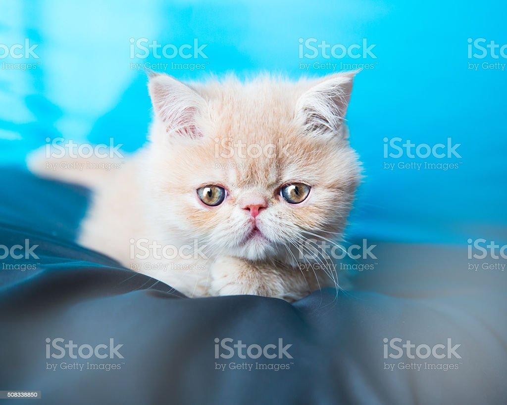 Exotic kitten stock photo