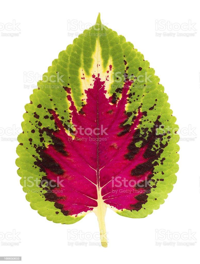 Exotic Leaf Isolated royalty-free stock photo