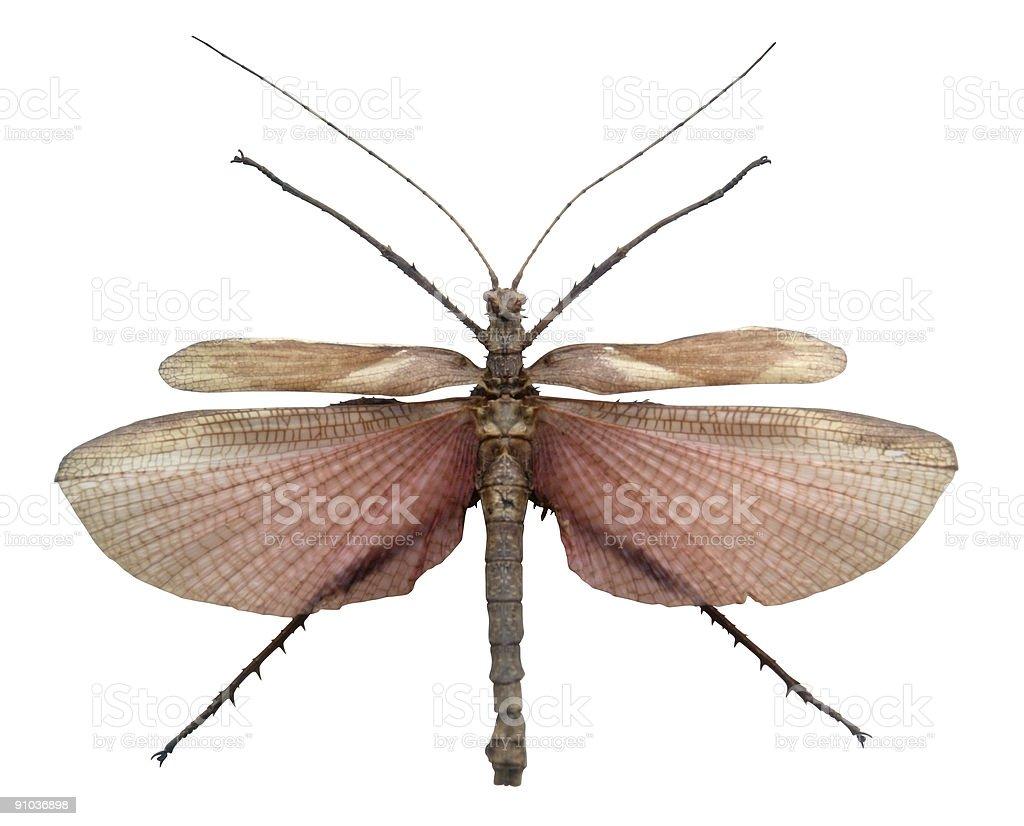 exotic male grasshopper royalty-free stock photo