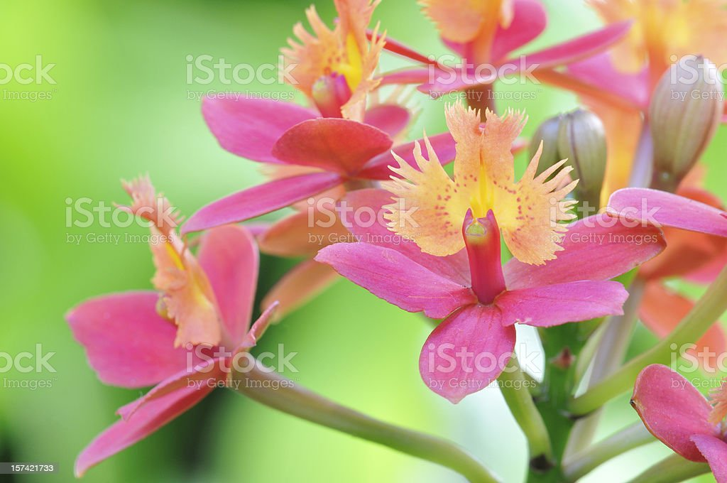 Exotic Orchids royalty-free stock photo
