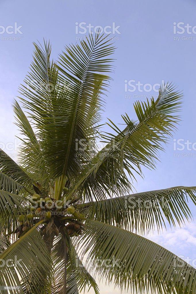 Exotic palm tree 2 royalty-free stock photo
