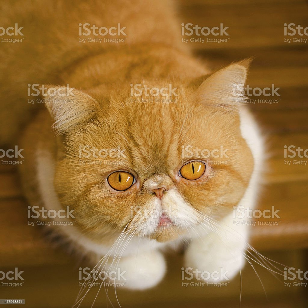 Exotic persian cat royalty-free stock photo