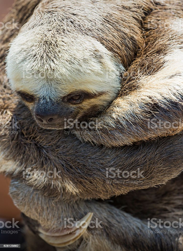 Exotic pet, a Pale-throated Sloth (Bradypus tridactylus) stock photo