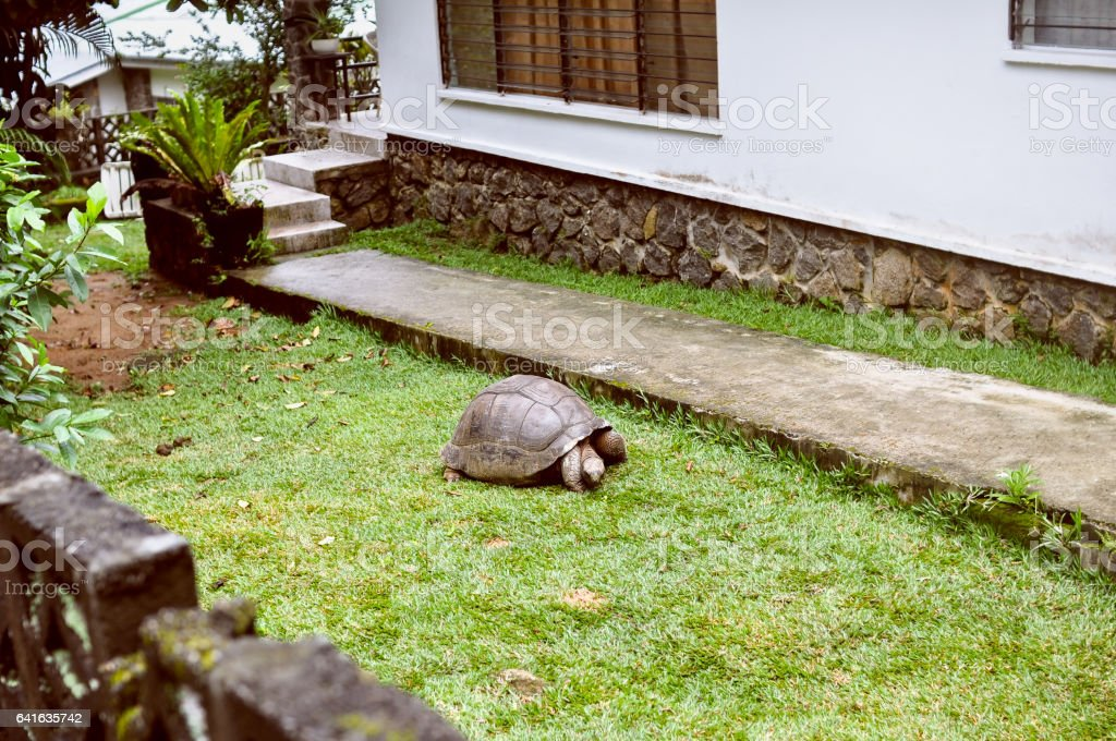 Exotic pet: а Seyshelles gigantic turtle in  the courtyard stock photo
