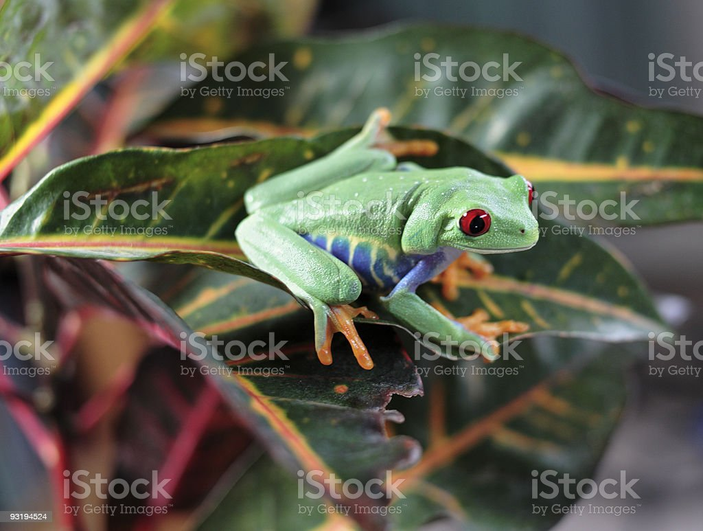 Exotic red eyed tree frog (smiling?) stock photo