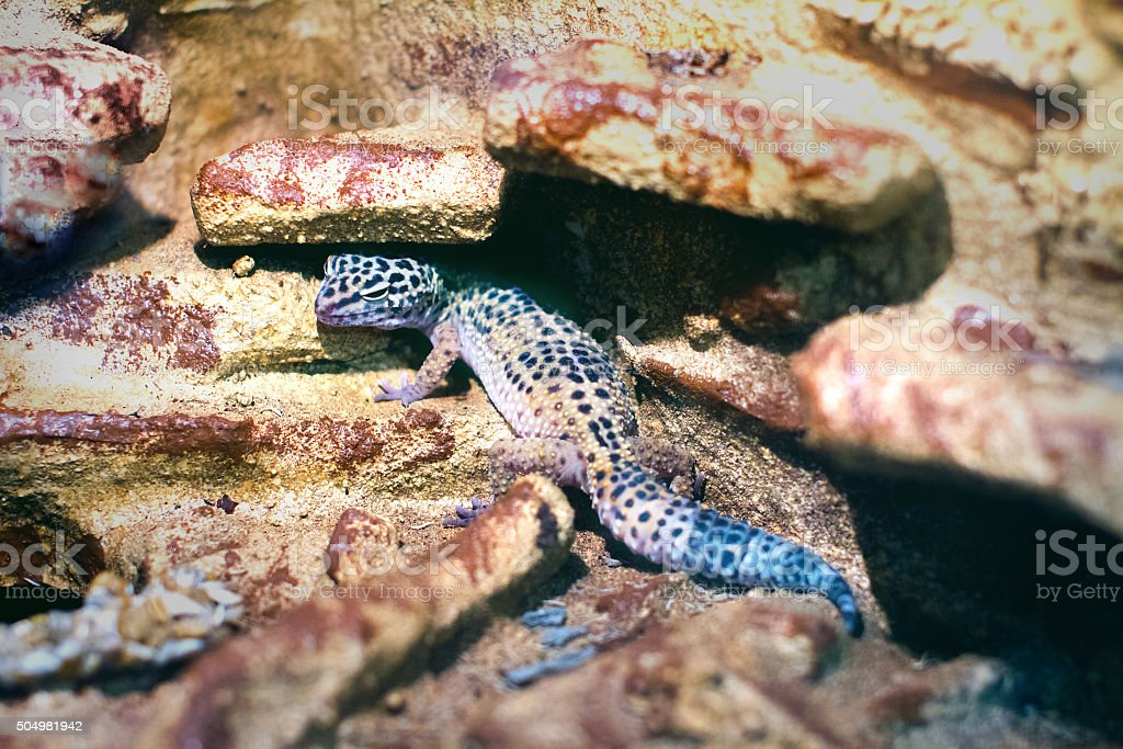 the image of an exotic reptile eublepharis animal spotted on the rocks