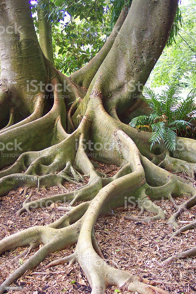 Exotic Roots of a Bay Fig Tree royalty-free stock photo