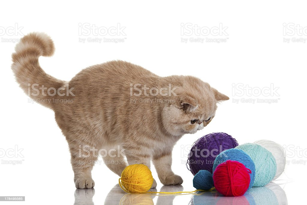 Exotic shorthair cat.  Cat with balls of threads. royalty-free stock photo