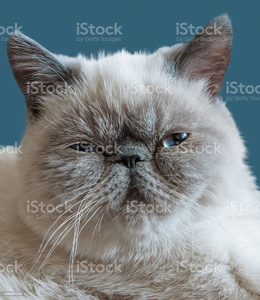 Exotic Shorthair cat on a dark blue background stock photo