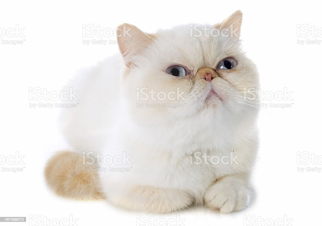 exotic shorthair cat stock photo