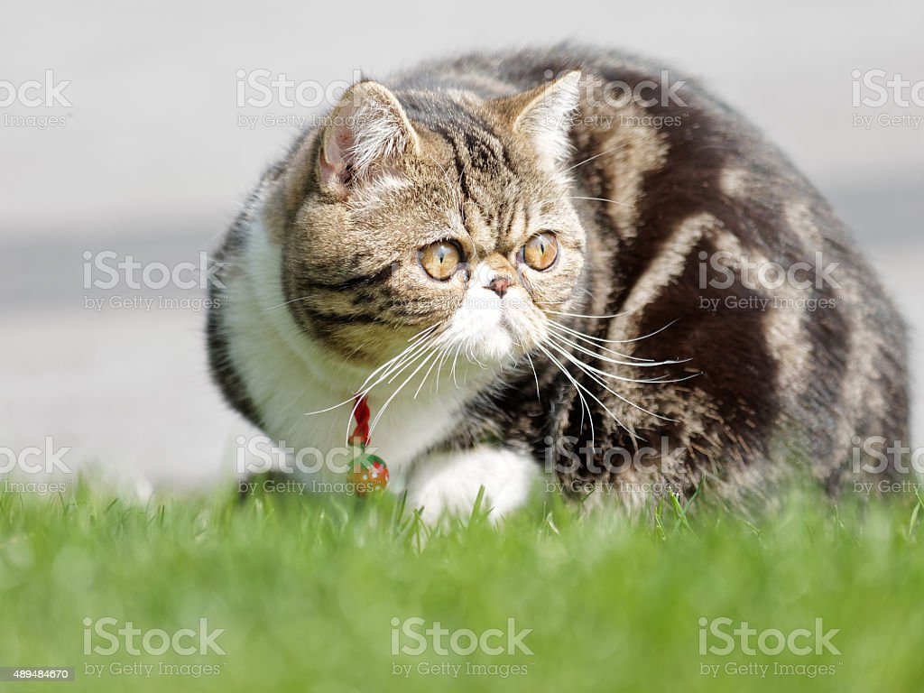 Exotic shorthair cat stock photo