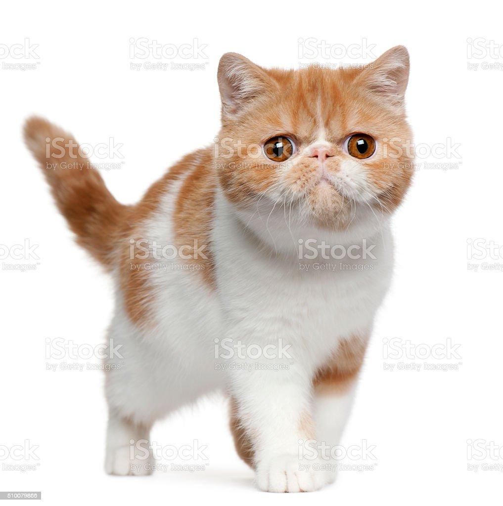 Exótico de pêlo curto kitten, 4 meses de idade, de pé - fotografia de stock