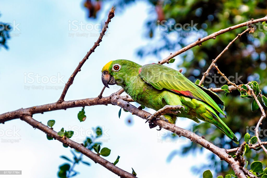 Exotic tropical green parrot in the wild stock photo