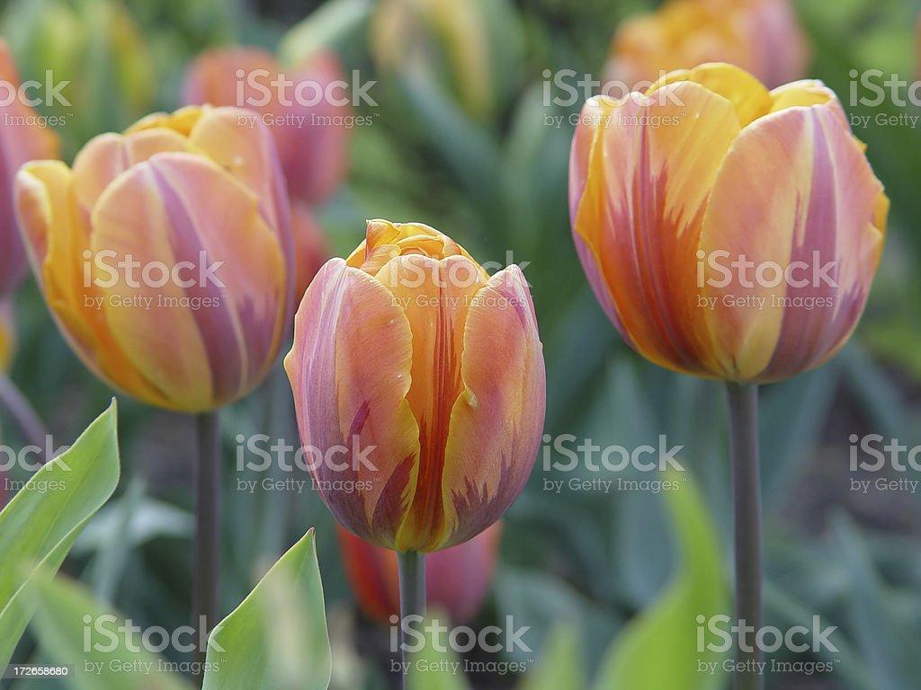 Exotic Tulips royalty-free stock photo