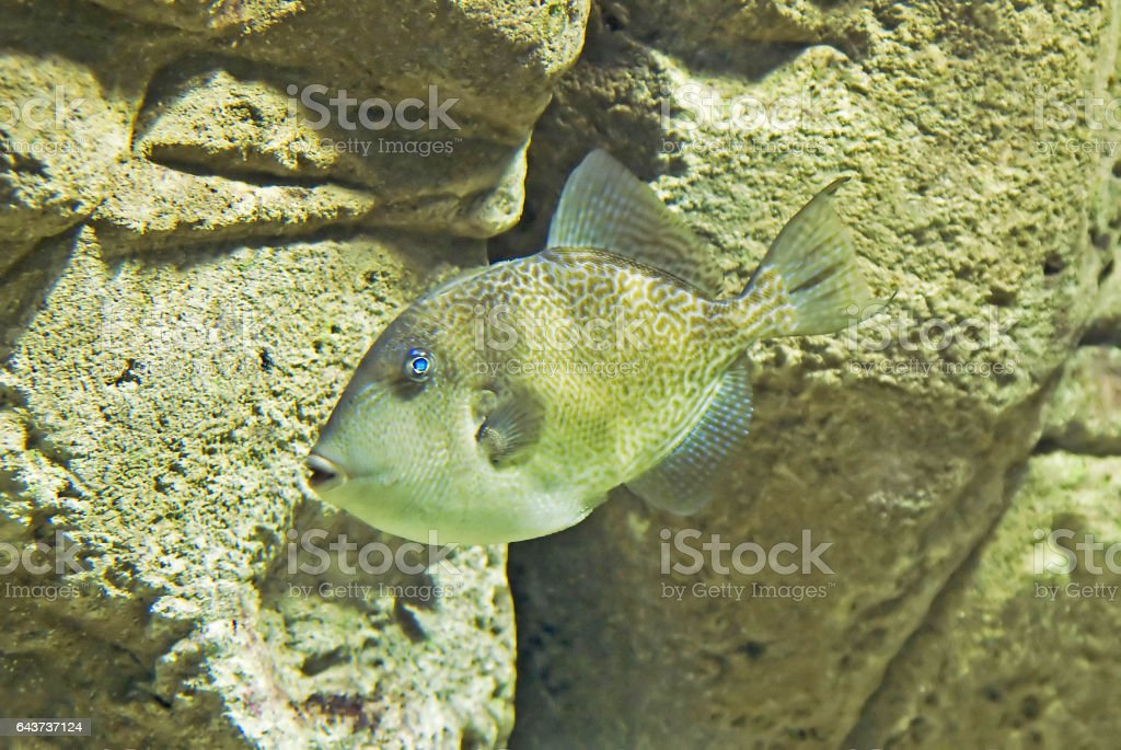 Exotic unique fish with blue eyes stock photo