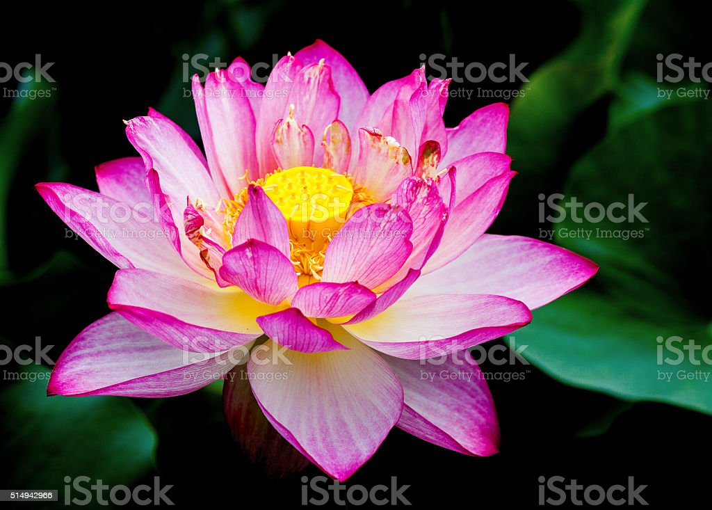 exotic water lily stock photo
