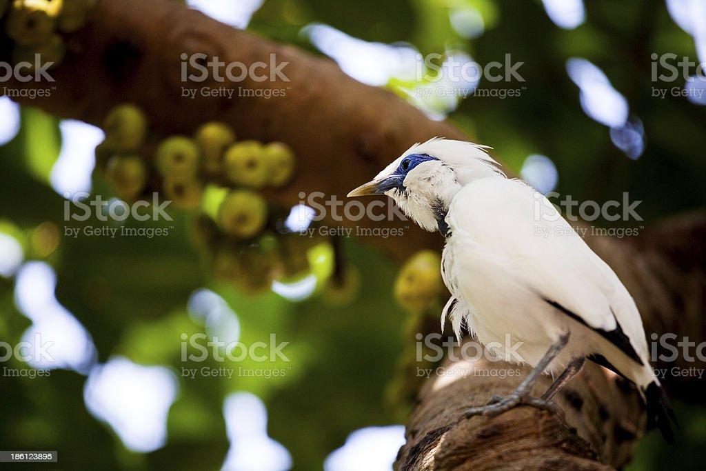 Exotic white bird with blue eyecollar royalty-free stock photo