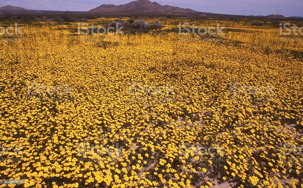 Expanse of spring yellow wildflowers near Fort Irwin California stock photo