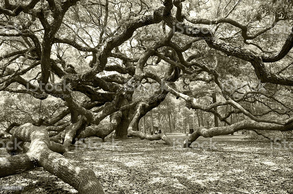 Ancient angel live oak in Charleston royalty-free stock photo