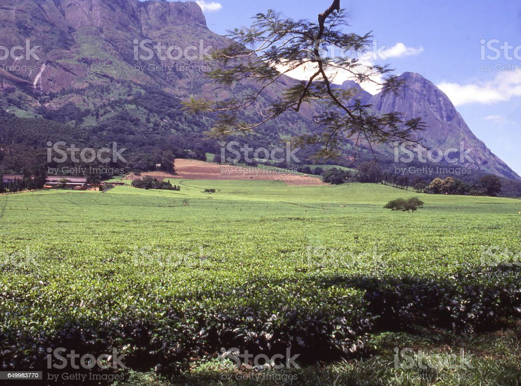 Expansive green tea fields next to Mulanje Massif in southern Malawi Africa stock photo