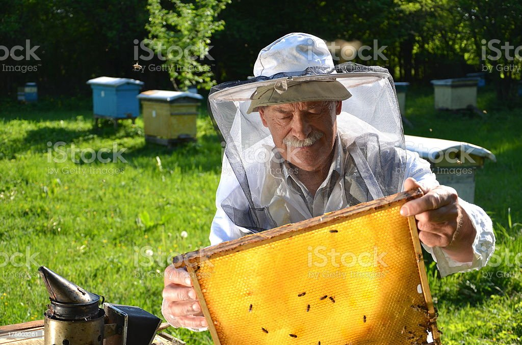 Experienced senior apiarist working in apiary royalty-free stock photo