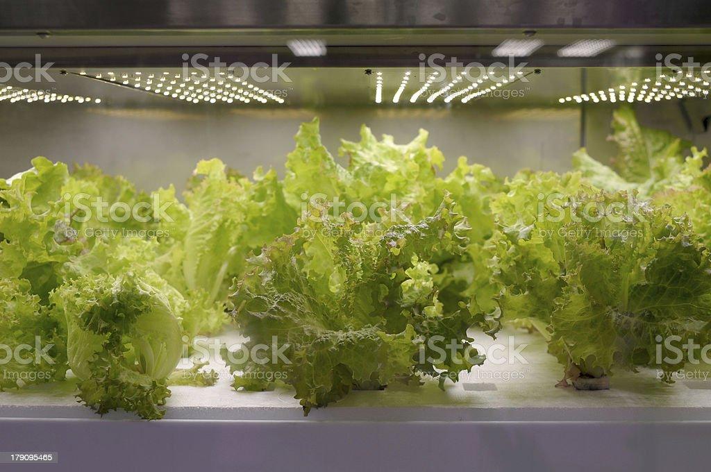Experimental box inside the lettuce royalty-free stock photo
