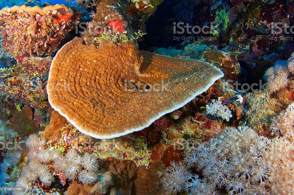 Explanate lettuce coral stock photo