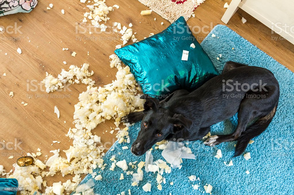 Exploded Cushion and Guilty Dog stock photo