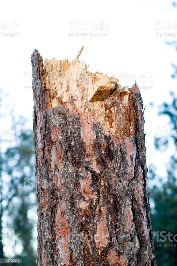 Exploded tree trunk stock photo