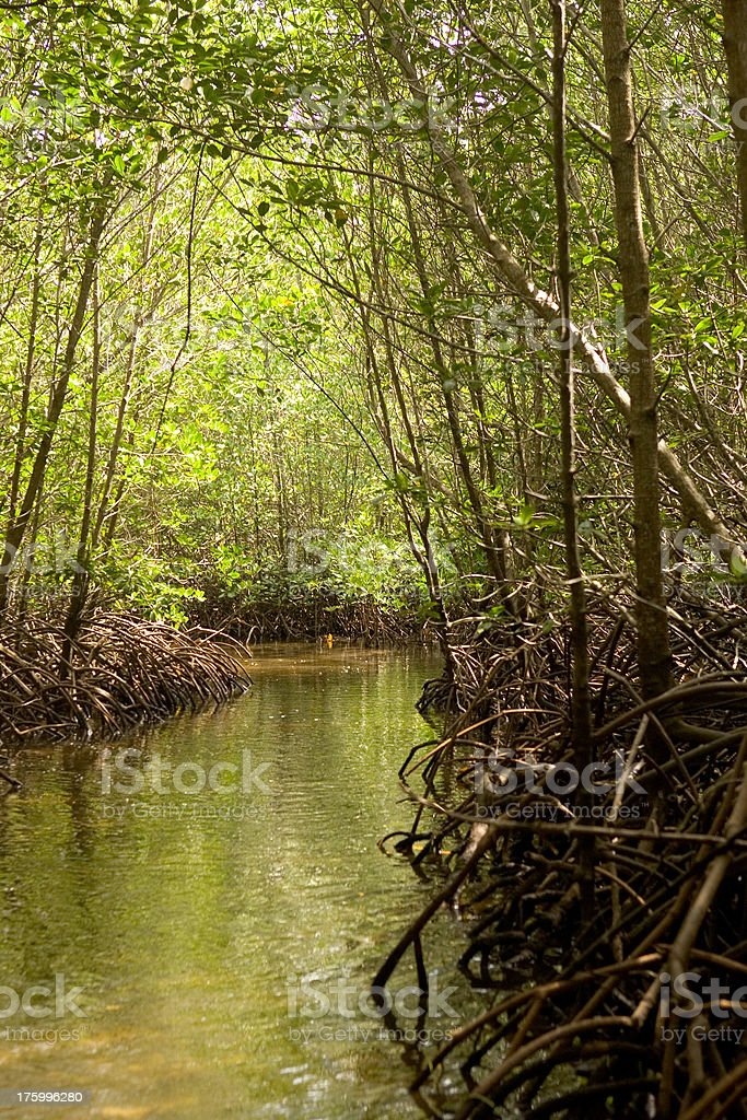 explore the mangrove forest stock photo