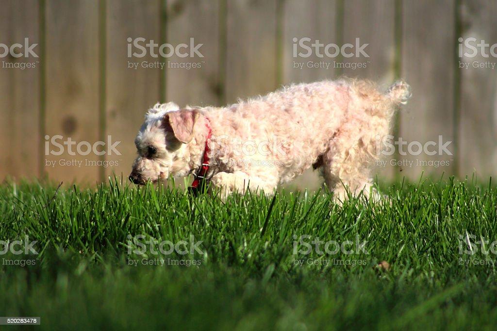 Exploring Poodle royalty-free stock photo
