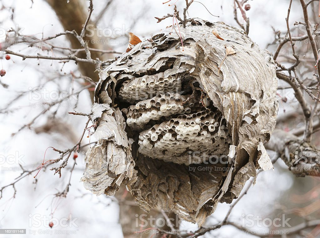 Exposed paper wasp nest royalty-free stock photo