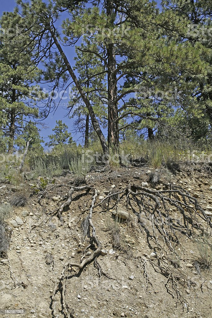 Exposed Root System of a Ponderosa Pine stock photo