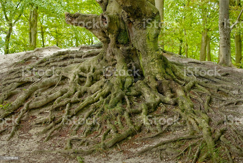 exposed roots royalty-free stock photo
