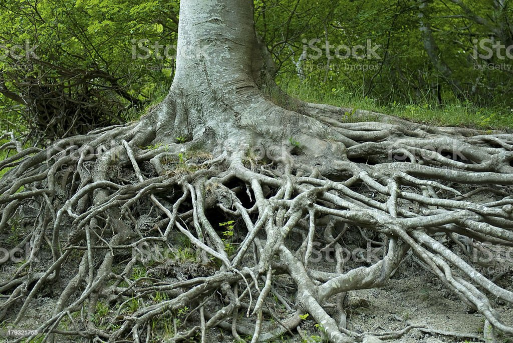 Exposed tree roots from erosion. M?ns Klint, Denmark. royalty-free stock photo