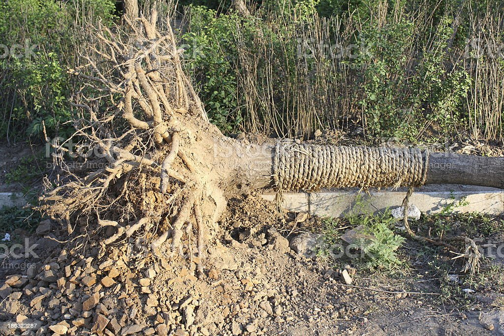 Exposed tree roots royalty-free stock photo