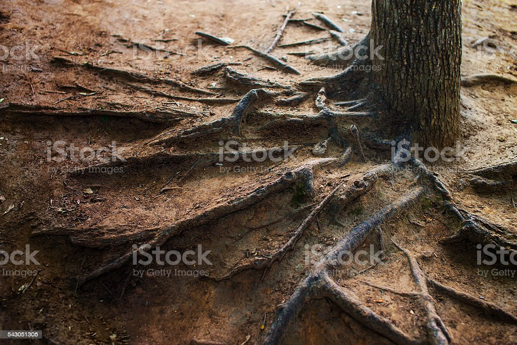 exposed tree roots stock photo