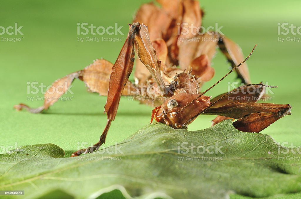 Extatosoma tiaratum royalty-free stock photo
