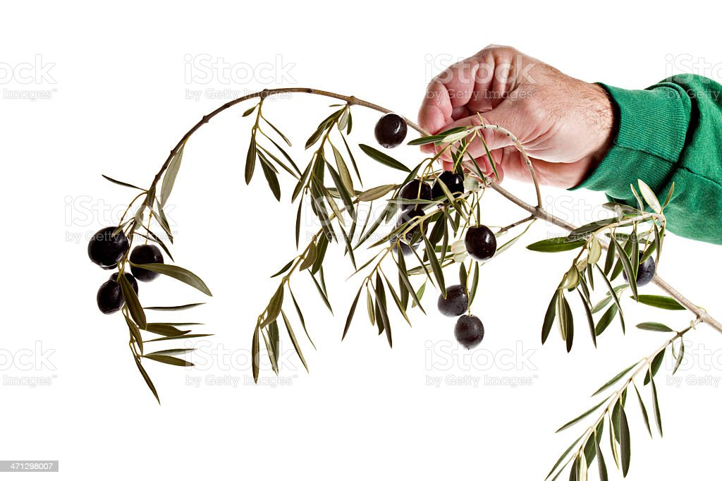 Extending An Olive Branch stock photo