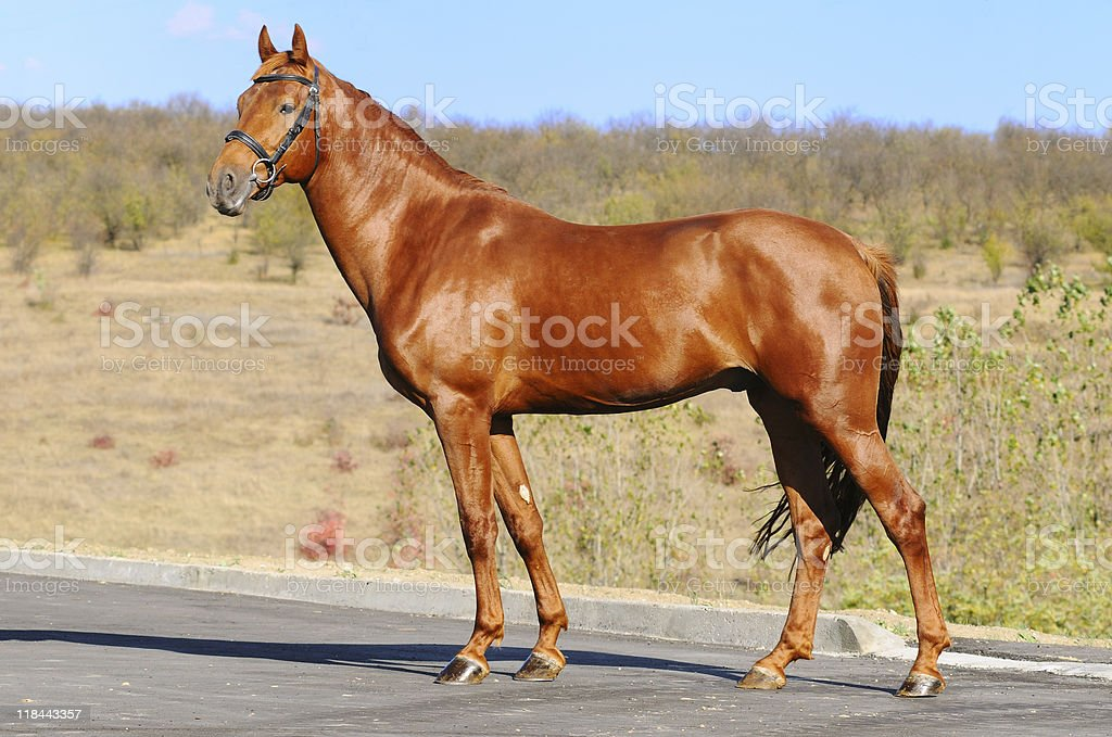 Exterior of sorrel horse royalty-free stock photo