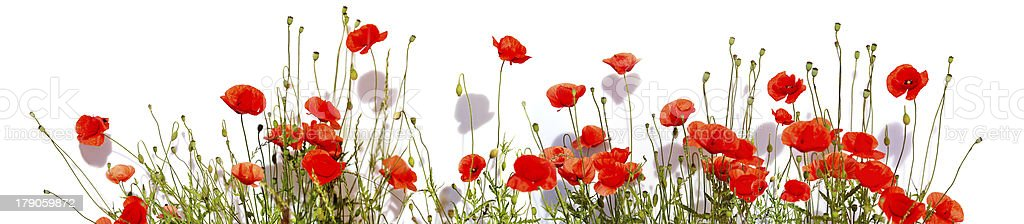 Extra large horizontal frame of poppies isolated on white backgr royalty-free stock photo
