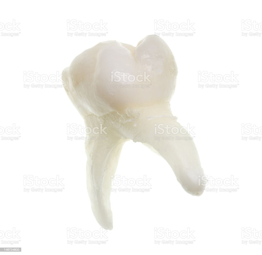 extracted baby molar tooth with roots royalty-free stock photo