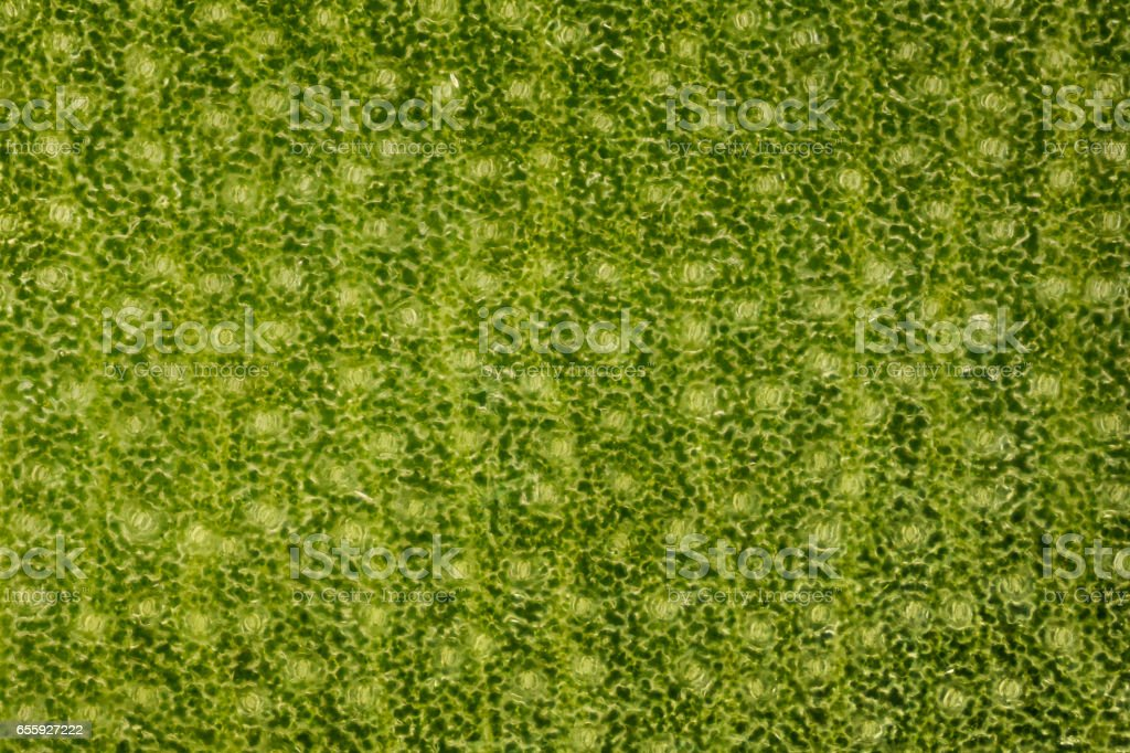 Extrem magnification - Stomatas in a green leaf stock photo
