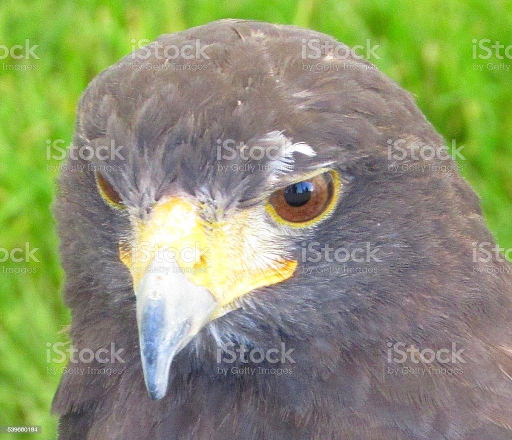 extreme close up kestrel bird of preys eyes head stock photo