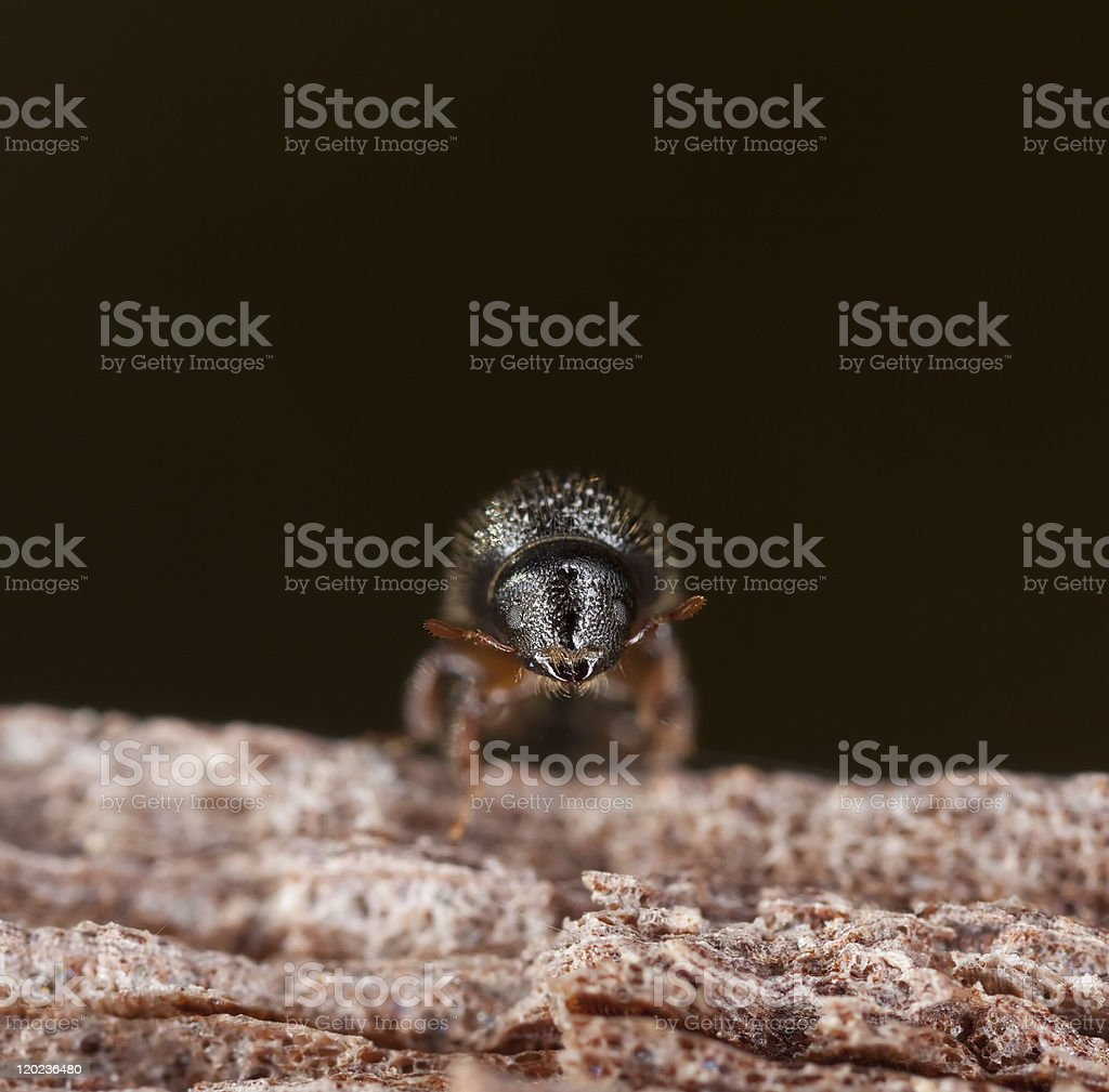 Extreme close up of a bark borer stock photo
