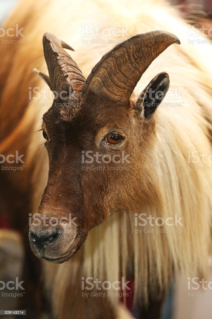 Extreme close up of a himalayan tahr stock photo