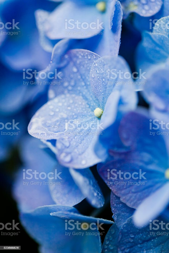 Extreme Close up of Hydrangea with Drops stock photo