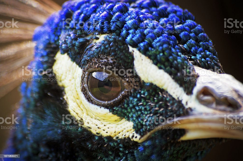 Extreme close up of Peacock head royalty-free stock photo