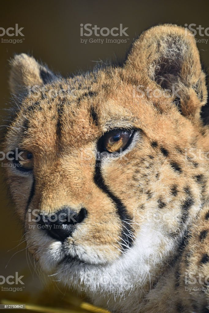 Extreme close up portrait of cheetah stock photo